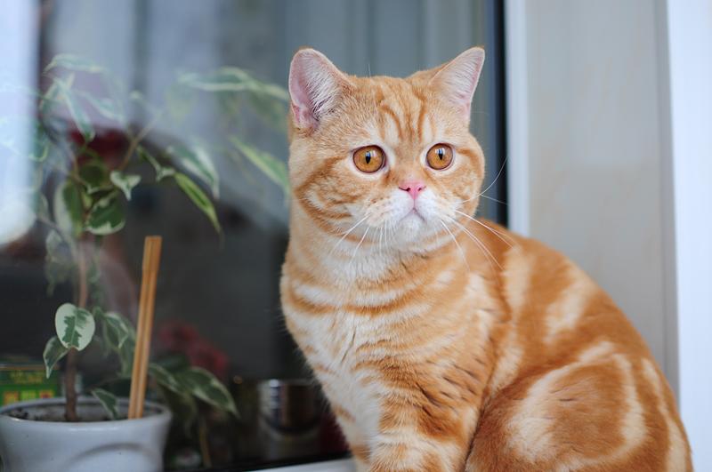 Кошка красный мрамор фото