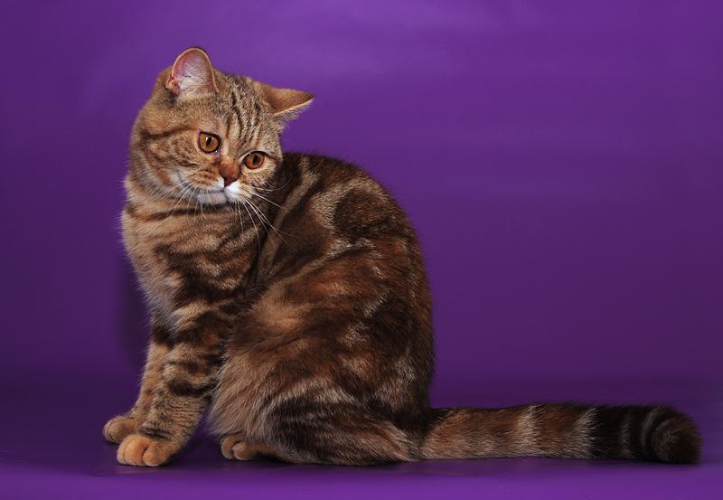 сайте все окрасы британских кошек фото альбатрос только