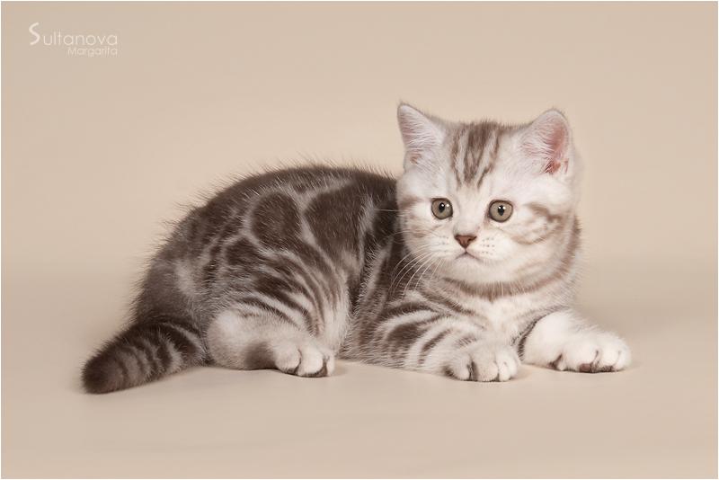 британские коты мрамор на серебре фото женщина